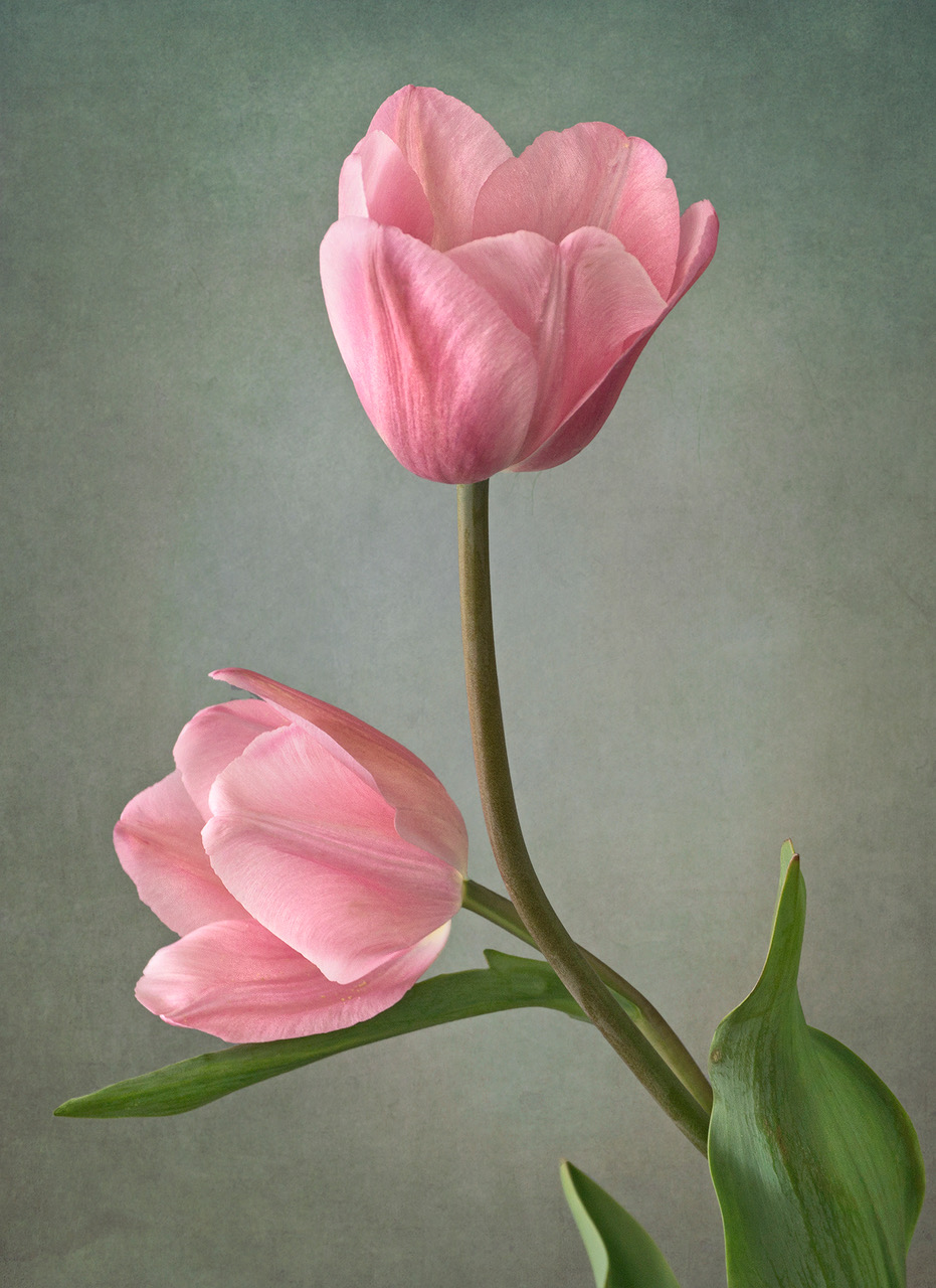 A photograph of two tulips with their stems twisted together