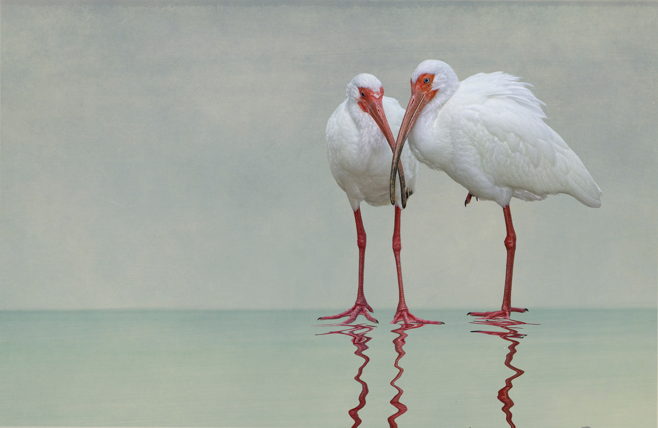 A photograph of two ibis standing in water