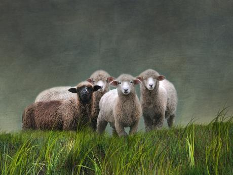 A photograph of three white sheep and one black sheep on a grassy field