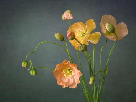 A photograph of poppies in various stages of bloom against a gray backdrop