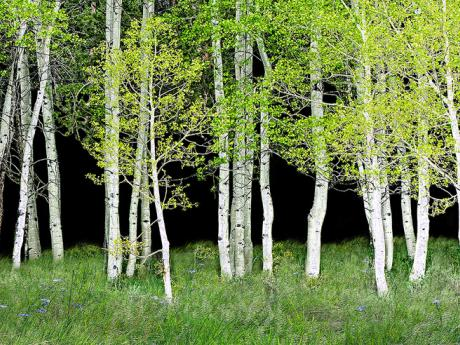 A photograph of a forest of aspen trees.