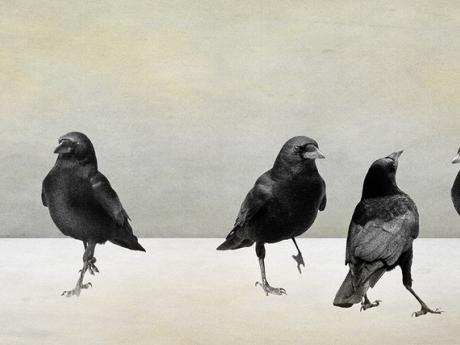 A photograph of seven crows standing together on a white backdrop