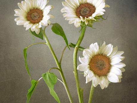 A photograph of three white sunflowers on a gray backdrop